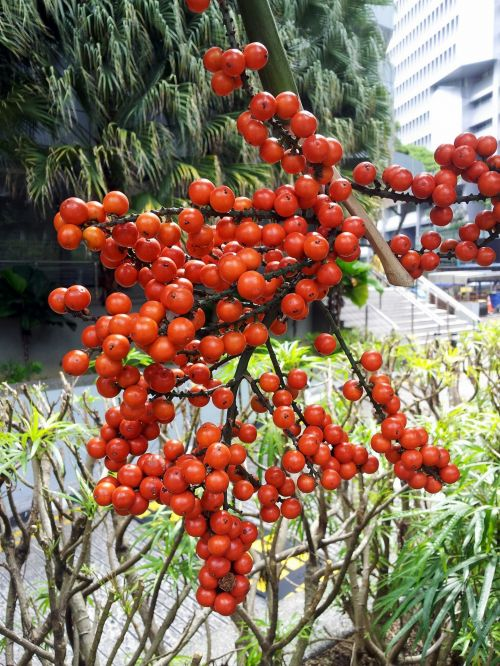 Red Palm Dates Fruits