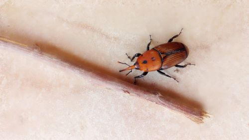 red palm weevil beetle palm trees plague