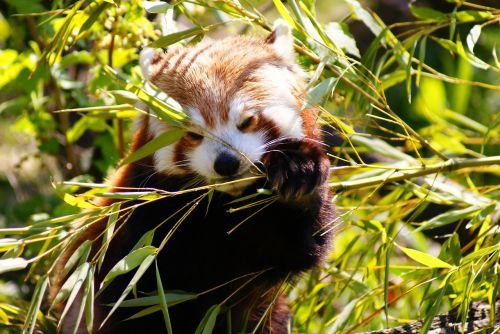 red panda panda mammal