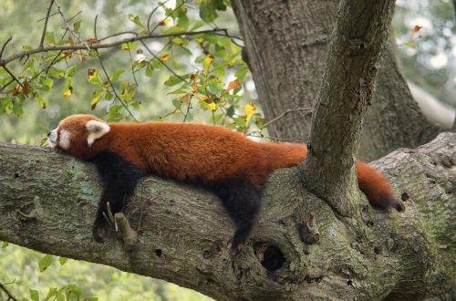 red panda zoo red
