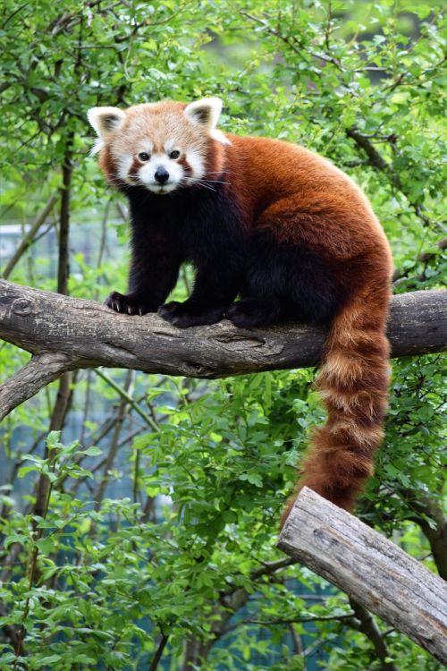red panda cute rare