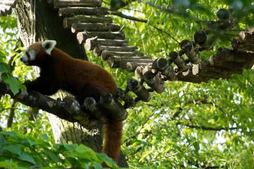 red panda panda green