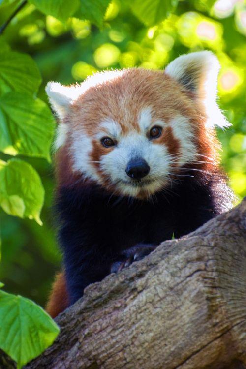 red panda panda bear