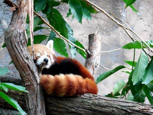 red panda cute red panda cute