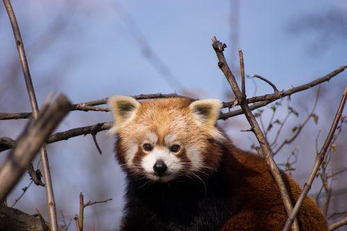red panda panda animals