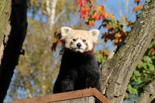 red panda panda panda bear