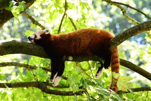 red panda  sleeping on branch  china