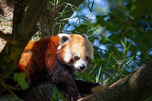 red panda  panda  bear cat