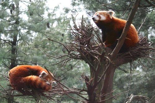 red panda  panda  central park zoo