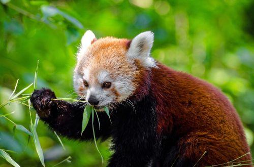 red panda animal panda