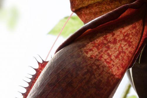 red pitcher plant sarracenia purpurea carnivorous