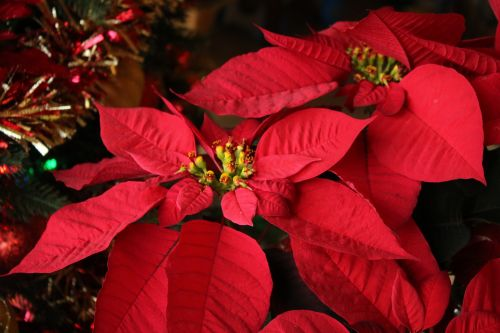 Red Poinsettia And Tinsel