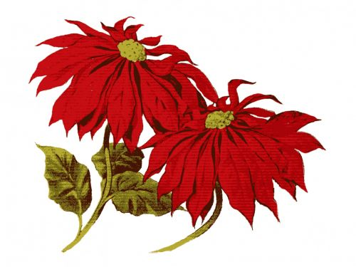 Red Poinsettia Flowers Clipart
