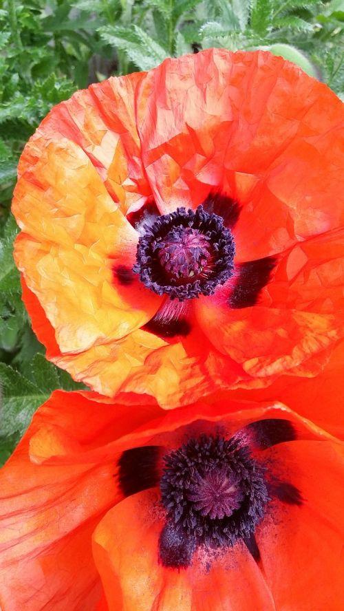 poppies red veterans