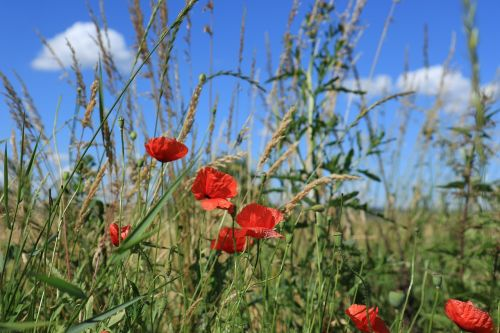 red poppies meadow grass
