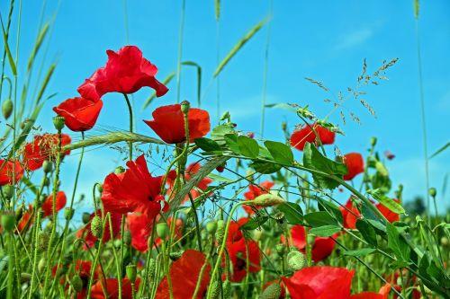 red poppy klatschmohn poppy