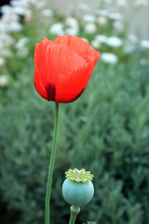 Red Poppy And Seed Pod