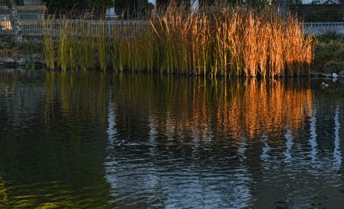 Red Reeds On The Water