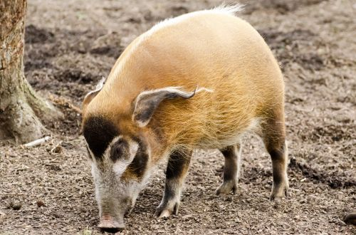 Red River Hog - Animals