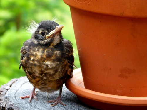 red robin chick young