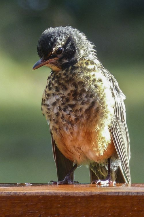 red robin bird animal