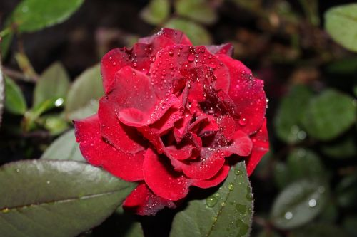 red rose dew red roses