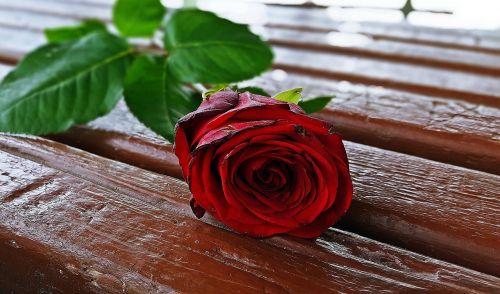 red rose rose flower rose