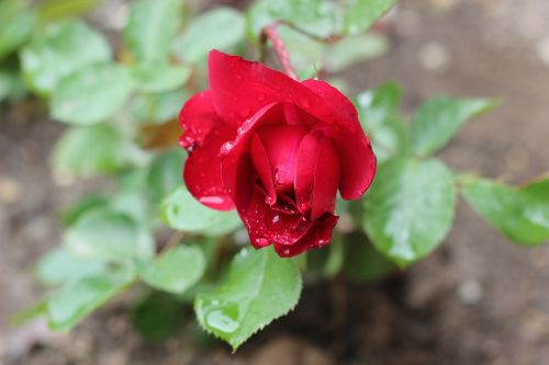 red rose after rain drops
