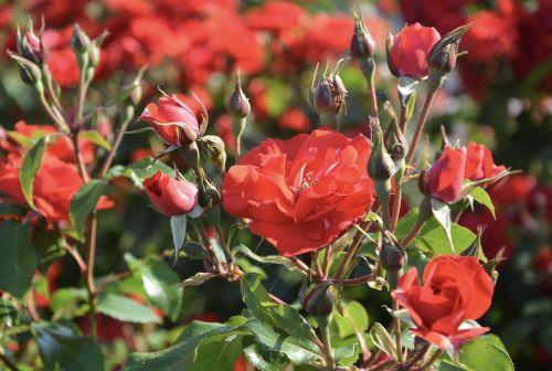 red rose rosebuds rosebush