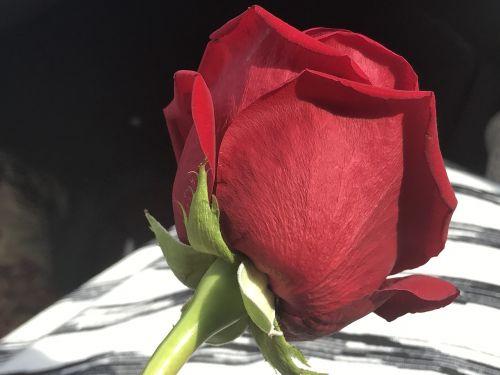 Raudona roze,vienas,gėlė,žiedas,romantika,gėlių,žiedlapis,stiebas