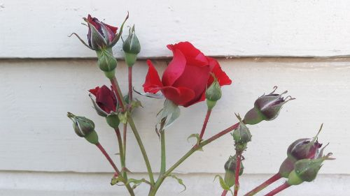 red rose ros red