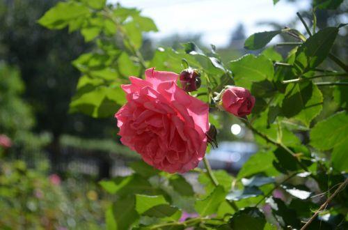 Raudona roze,rožė,augalas,gėlių,gamta,gėlė,natūralus,rožinė rožė,vyšnių rožė