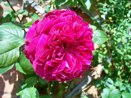 red rose turkish delight rose climbing rose