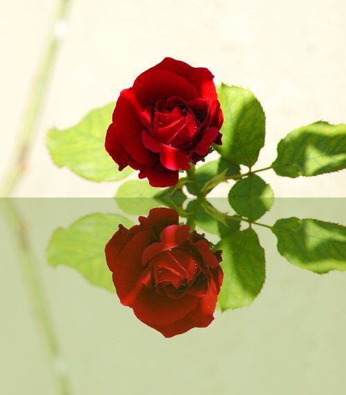 red rose  mirror  reflections