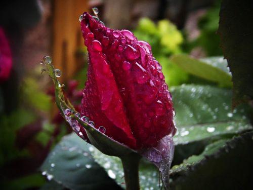 red rose rain drops of rain
