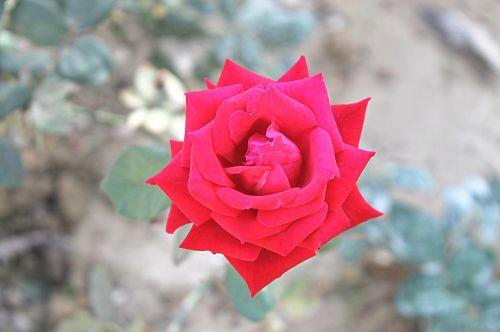 red rose roses love flower