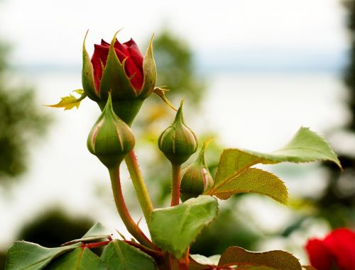 red rose rose bud
