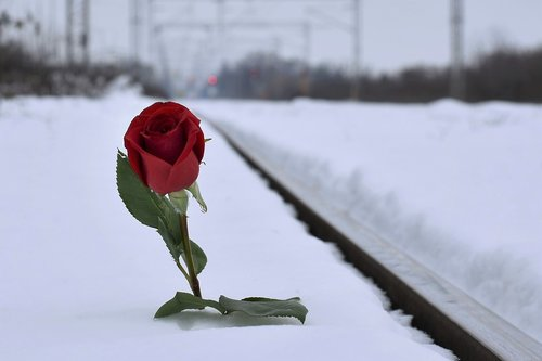 red rose in snow  lost love  grieving boyfriend