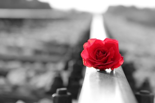 red rose on rail  black and white  lost love
