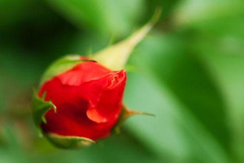 Red Rosebud On Green