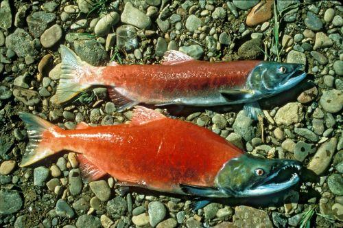 red salmon sockeye salmon sockeye