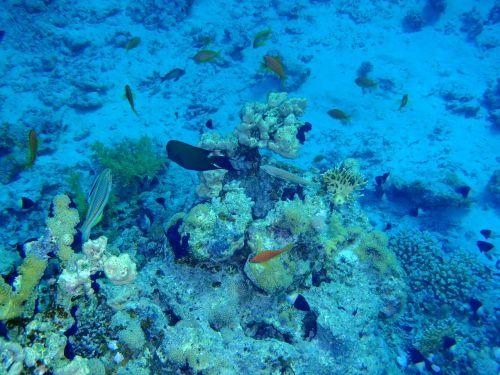 red sea fish corals