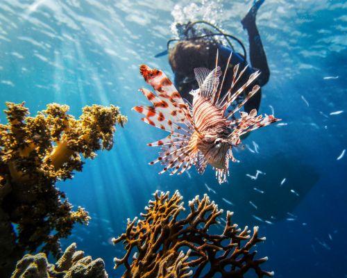red sea lionfish scuba