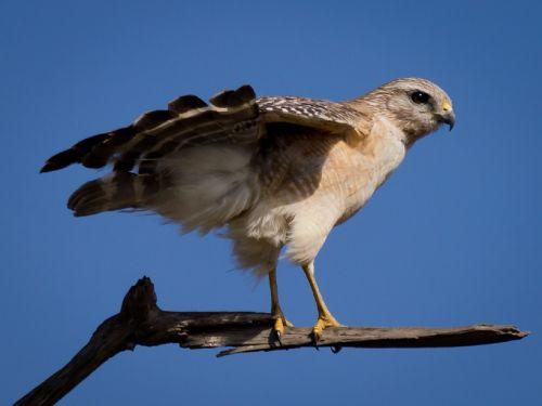 red-shouldered hawk raptor bird