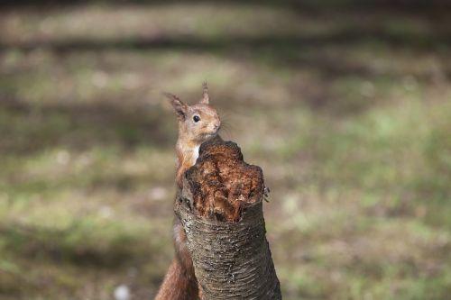 red squirrel animal sciurus