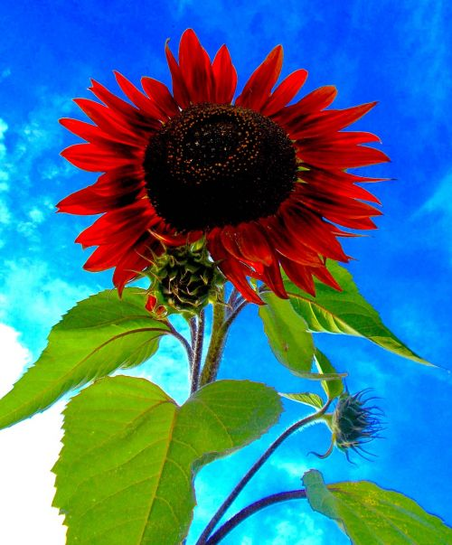 red sunflower helianthus red annus prado red