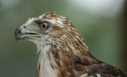 red tail hawk bird