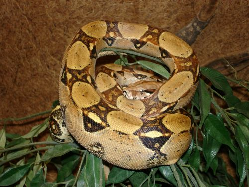 red tailed boa snake boa constrictor