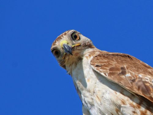 red-tailed hawk hawk juvenile