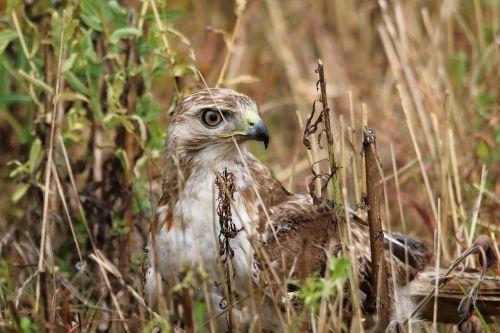 red-tailed hawk bird predator